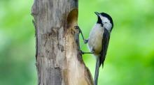 A black-capped chickadee in Framingham, photographed by Katharine Becker.