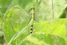 An eastern pondhawk at Farm Pond in Framingham, photographed by Steve Forman.