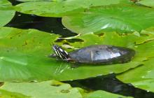 A painted turtle in Framingham, photographed by Joan Chasan.