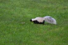 A skunk in Maynard, photographed by Gail Sartori.