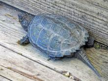 A snapping turtle in Framingham, photographed by Joan Chasan.