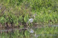 A great blue heron at Whitehall State Park in Hopkinton, photographed by Gordon Taylor.