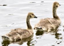 Canada geese goslings at Hager Pond in Marlborough, photographed by Steve Forman.