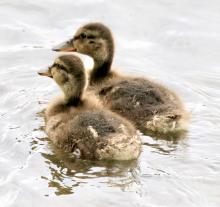 Mallard ducklings at Hager Pond in Marlborough, photographed by Steve Forman.