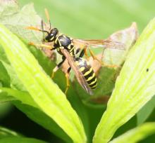 A European paper wasp at Breakneck Hill Conservation Land in Southborough, photographed by Steve Forman.