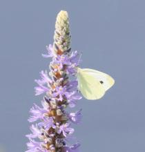 A cabbage white butterfly at Farm Pond in Framingham, photographed by Steve Forman.