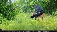 A white-tailed deer and an American crow in Harvard, photographed using an automatically triggered wildlife camera by Steve Cumming.