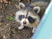 A raccoon in Framingham, photographed by Joan Chasan.