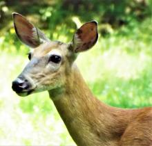 A white-tailed deer in Harvard, photographed by Robin Right.