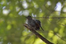 A gray catbird in Maynard, photographed by Gail Sartori.