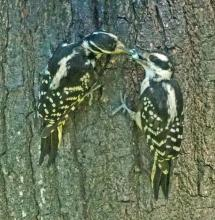 Hairy woodpeckers in Framingham, photographed by Joan Chasan.