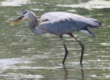 A great blue heron in Marlborough, photographed by Steve Forman.
