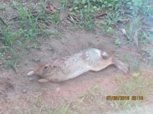 A cotton-tailed rabbit in Stow.