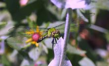 An eastern pondhawk in Northborough, photographed by Sandy Howard.
