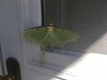 A luna moth in Maynard, photographed by Jodi Beebe.