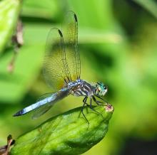 A blue dasher in Framingham, photographed by Joan Chasan.