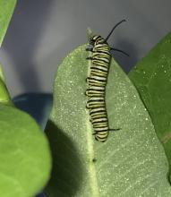 A monarch caterpillar in Framingham, photographed by Eileen Aronson.