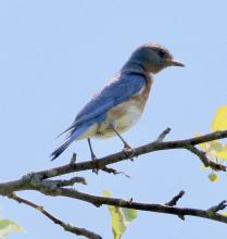 An eastern bluebird in Southborough, photographed by Steve Forman.