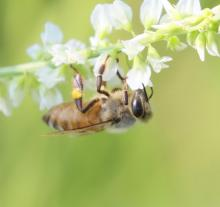 A honey bee in Southborough, photographed by Steve Forman.