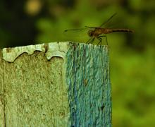 A dragonfly in Harvard, photographed by Robin Right.