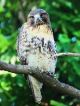 A red-tailed hawk in Billerica, photographed by Betsy Gallagher.