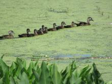 A family of wood ducks at Assabet River National Wildlife Refuge in Maynard, photographed by Christine Goddard.