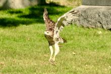 A red-tailed hawk in Wayland, photographed by Russ Place.
