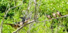 Barn swallows along the Sudbury River in Concord, photographed by Terri Ackerman.