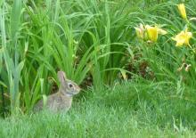 A cotton-tailed rabbit in Sudbury, photographed by Sharon Tentarelli.