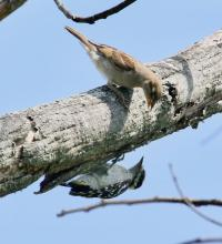 A house sparrow (top) and a downy woodpecker in Southborough, photographed by Steve Forman.