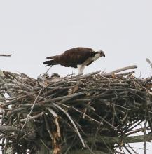 An osprey nest at Waseeka Wildlife Sanctuary in Hopkinton, photographed by Steve Forman.