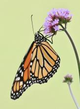 A monarch butterfly at Tower Hill in Boylston, photographed by Steve Forman.
