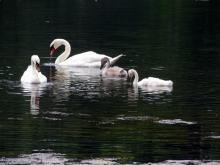 Mute swans on Farrar Pond in Lincoln, photographed by Harold McAleer.