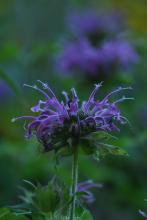 Bee balm in Framingham, photographed by Gerry White.