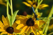 A blue dasher dragonfly in Framingham, photographed by Gerry White.