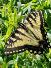 An eastern tiger swallowtail butterfly in Northborough, photographed by Marnie Frankian.