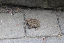 An American toad in Bolton, photographed by Gordon Taylor.