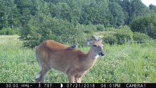 A white-tailed deer in Boxborough, photographed with an automatically triggered wildlife camera by Steve Cumming.
