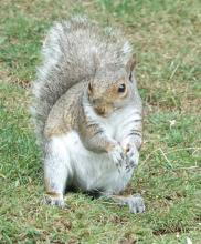 A gray squirrel in Framingham, photographed by Steve Forman.