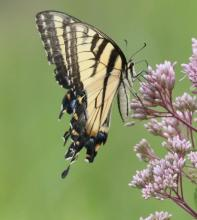 An eastern tiger swallowtail butterfly in Southborough, photographed by Steve Forman.