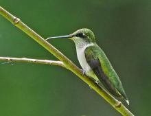 A ruby-throated hummingbird at Garden in the Woods in Framingham, photographed by Joan Chasan.