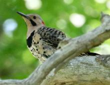A northern flicker at Farm Pond in Framingham, photographed by Steve Forman.