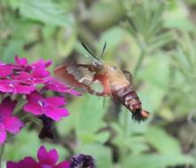 A hummingbird clearwing moth in Framingham, photographed by Steve Forman.