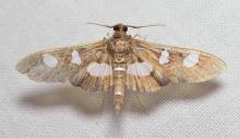 Grape leafroller, genus Desmia, total length 16mm. There are two species in the genus that can be identified only by details seen in a ventral view. This specimen shows a gold leaf appearance under intense reflective light; typical coloring under normal daylight is quite dark, almost black, with contrasting white spots. Common.