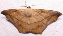 Large maple spanworm moth, Prochoerodes lineola, wingspread 46mm. Common.