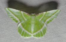Showy emerald, Dichorda iridaria, wingspread 20-30mm. Dichorda are a member the large populated family Geometridae, geometers.