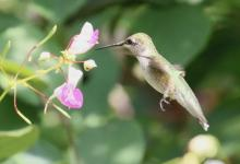 A ruby-throated hummingbird at Tower Hill Botanic Garden in Boylston, photographed by Steve Forman.
