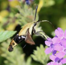 A snowberry clearwing moth at Tower Hill Botanic Garden in Boylston, photographed by Steve Forman.