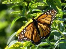 A monarch butterfly in Lincoln, photographed by Harold McAleer.