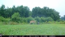 A turkey and a white-tailed deer in Boxborough, photographed with an automatically triggered wildlife camera by Steve Cumming.